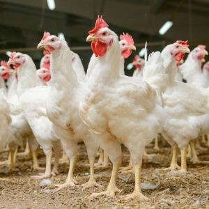GM chickens that lay eggs with anti-cancer drugs